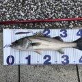 大地さんの東京都江東区での釣果写真