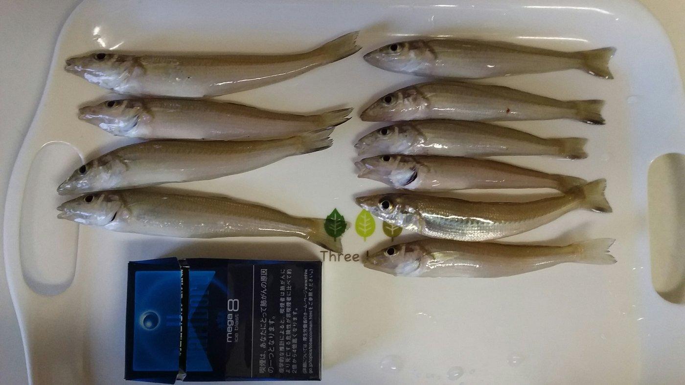 トキヒロさんの投稿画像,写っている魚はシロギス