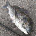 鬼ころしさんの広島県でのクロダイの釣果写真