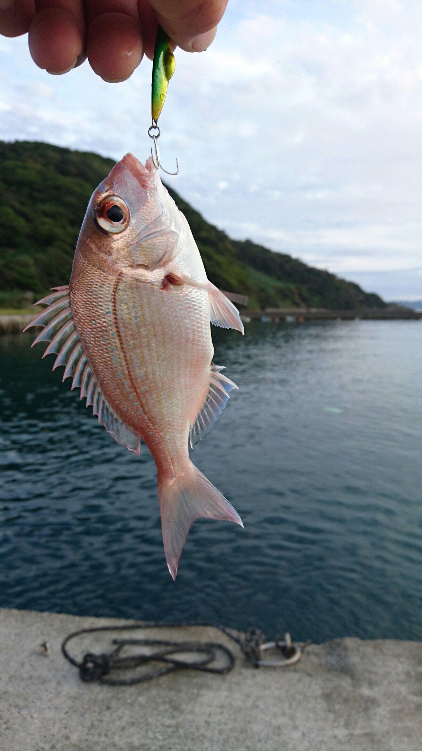 伊予灘物語Ⅱさんの投稿画像,写っている魚はマダイ