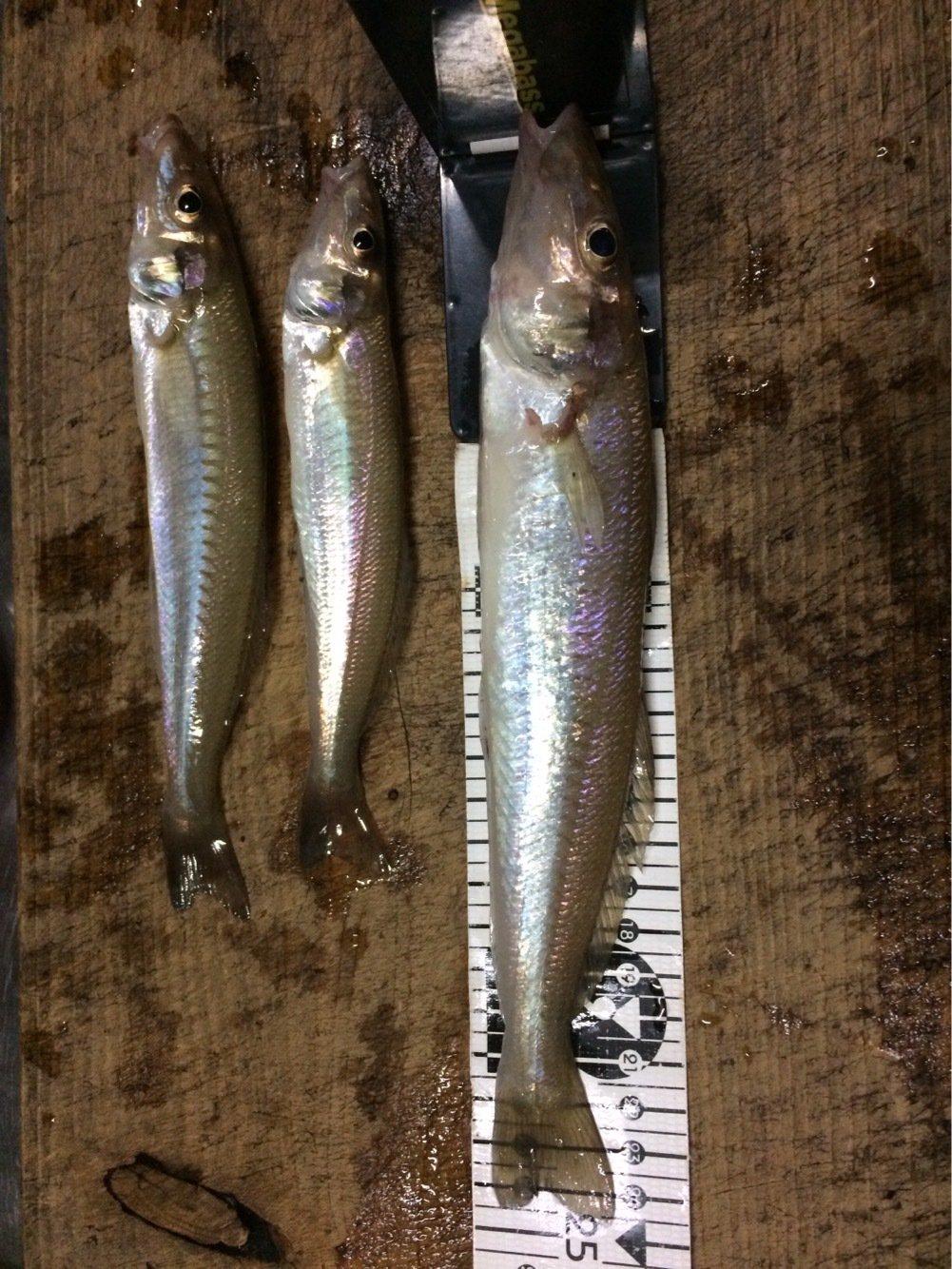 シーバスハンターさんの投稿画像,写っている魚はシロギス