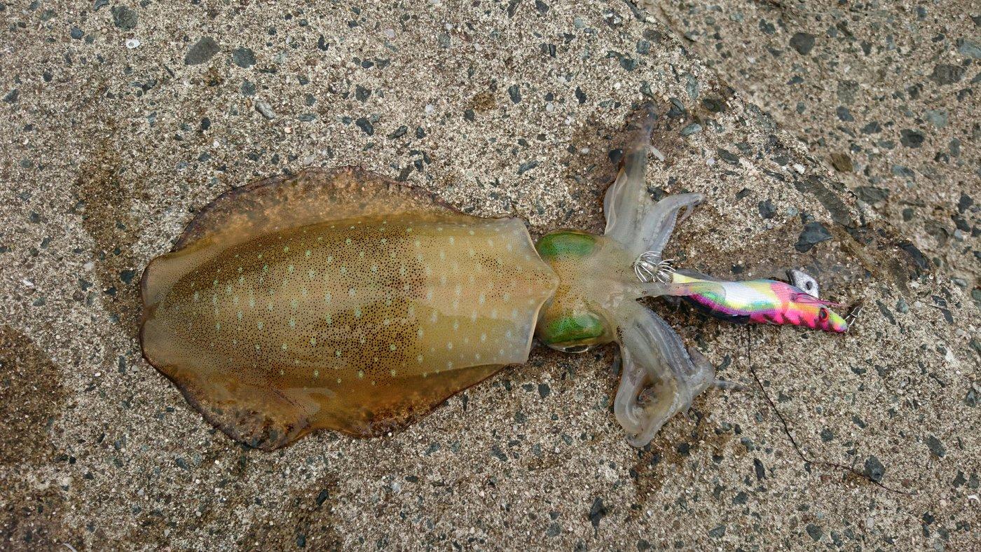セドリアさんの投稿画像,写っている魚はアオリイカ