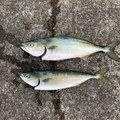かーずさんの神奈川県三浦市での釣果写真