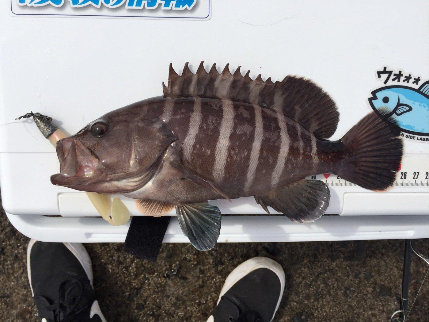 ザキヤマさんの投稿画像,写っている魚はマハタ