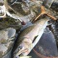 satoさんの岐阜県飛騨市での釣果写真