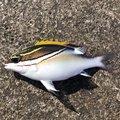 ムッシューむらむらさんの沖縄県名護市での釣果写真