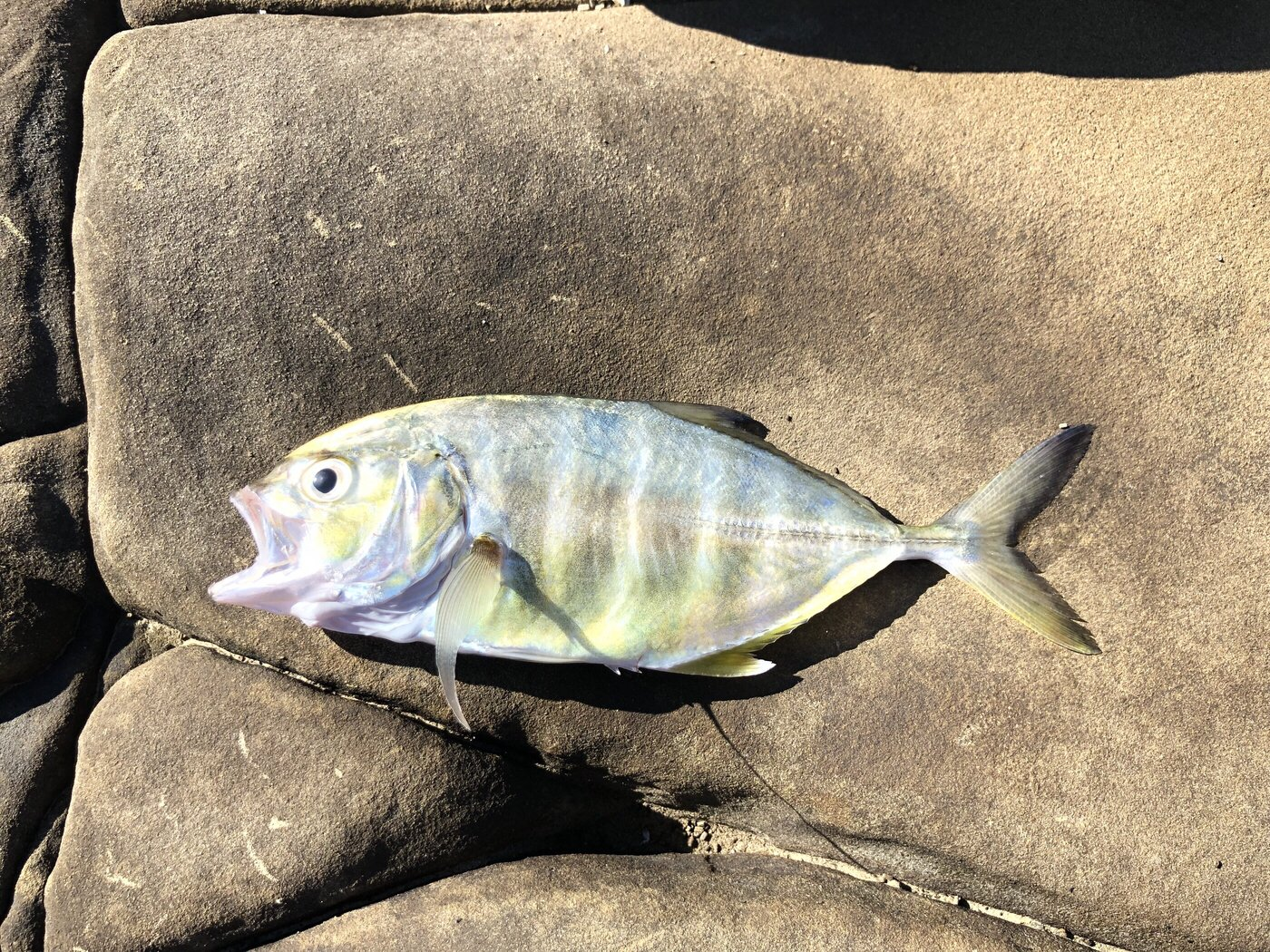 プレジャーさんの投稿画像,写っている魚はロウニンアジ