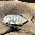プレジャーさんの宮崎県日南市でのロウニンアジの釣果写真
