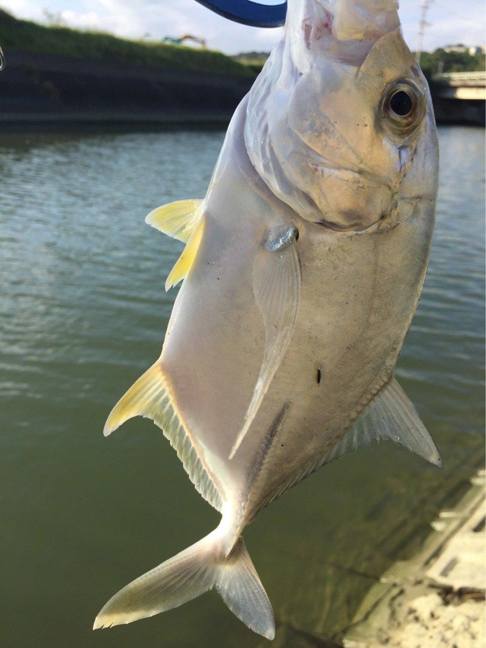 なかま もときさんの投稿画像,写っている魚はギンガメアジ