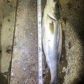 カズトさんの茨城県水戸市での釣果写真