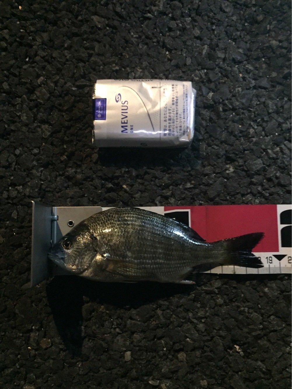 ジョーさんの投稿画像,写っている魚はクロダイ