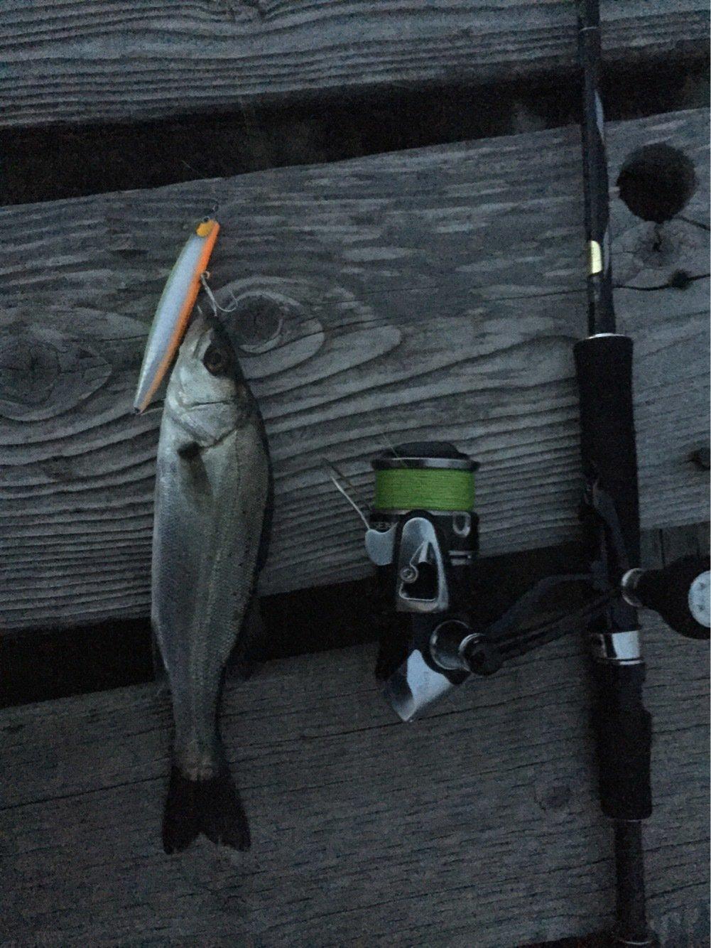 majさんの投稿画像,写っている魚はスズキ