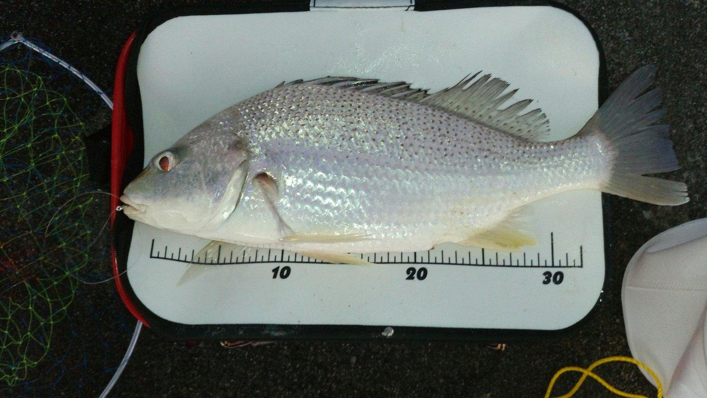 gontaさんの投稿画像,写っている魚はイサキ