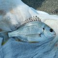 まーさんの三重県桑名市での釣果写真
