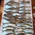 たかちさんの神奈川県でのアジの釣果写真