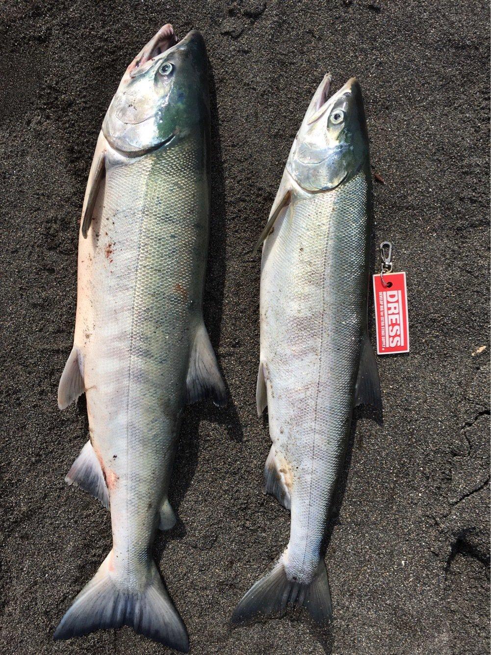 anglerさんの投稿画像,写っている魚はサケ