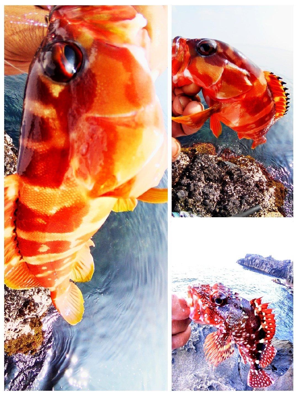 KRO さんの投稿画像,写っている魚はアカハタ,カサゴ