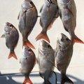 釣り課長さんの香川県高松市での釣果写真