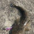 犬男さんの宮城県名取市でのコチの釣果写真