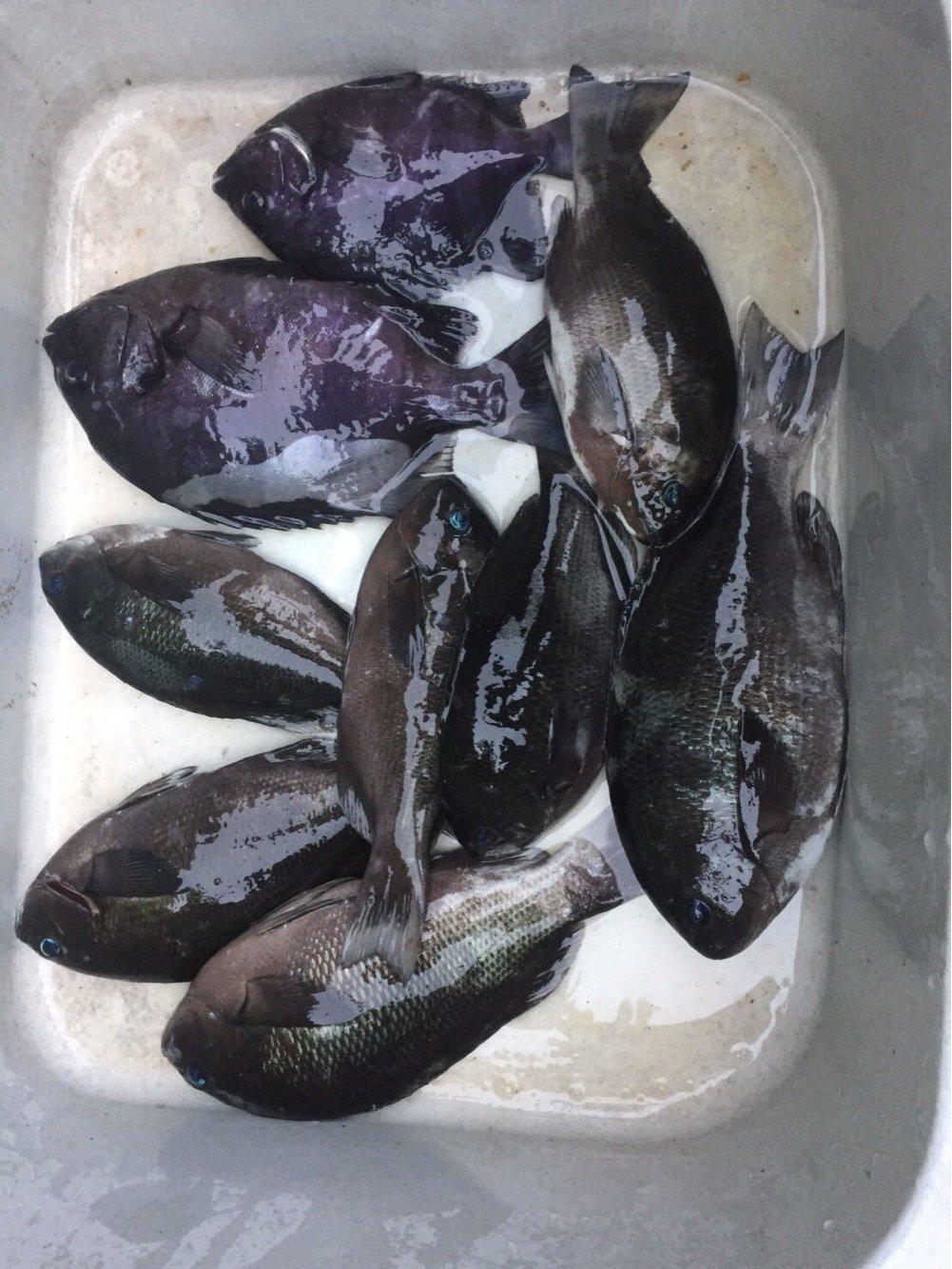 まーぼーさんの投稿画像,写っている魚は