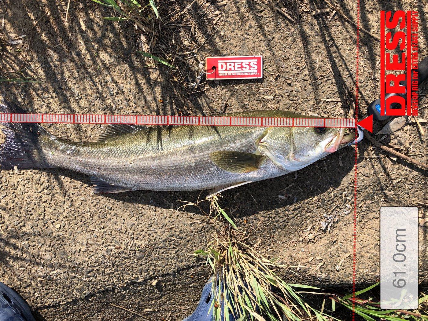 HAYAさんの投稿画像,写っている魚はスズキ