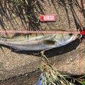 HAYAさんの島根県江津市での釣果写真