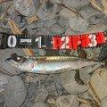 なつん      さんの静岡県でのマサバの釣果写真
