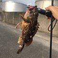 酢豚子さんの愛知県名古屋市でのカサゴの釣果写真