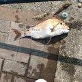 Osamu Nakaharaさんの岡山県玉野市での釣果写真