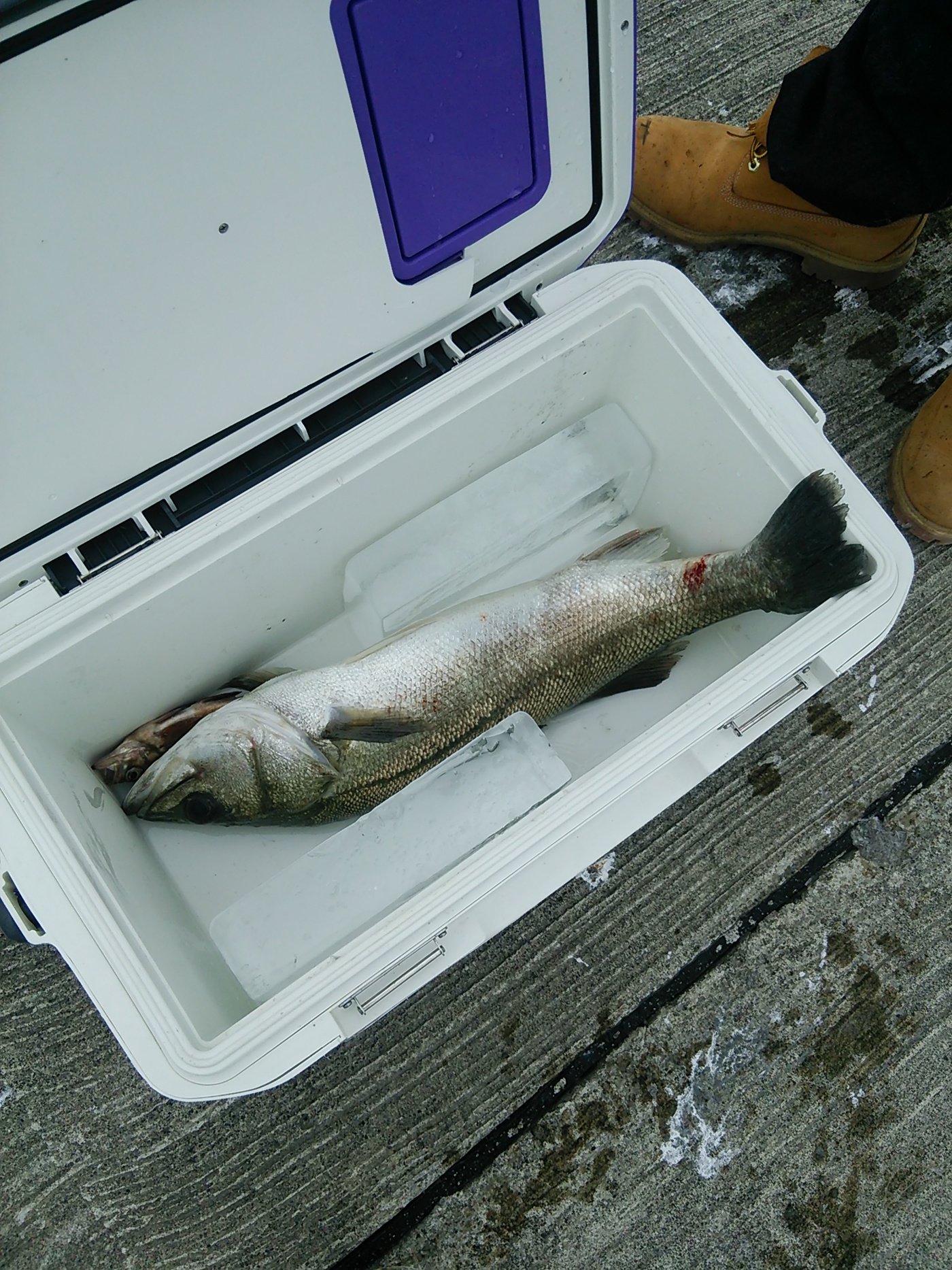 晴れ時々釣師さんの投稿画像,写っている魚はスズキ