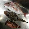 リムルさんの徳島県鳴門市での釣果写真