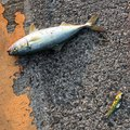 瑠音さんの兵庫県高砂市での釣果写真