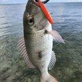 毒モップさんの沖縄県でのフエフキダイの釣果写真
