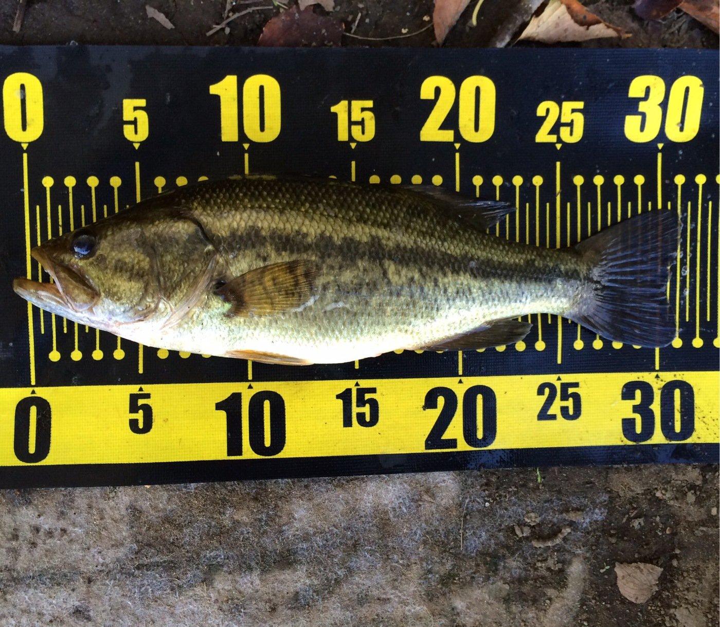 shi-basser-ki さんの投稿画像,写っている魚はブラックバス