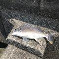 モバイル釣り師さんの高知県土佐市での釣果写真