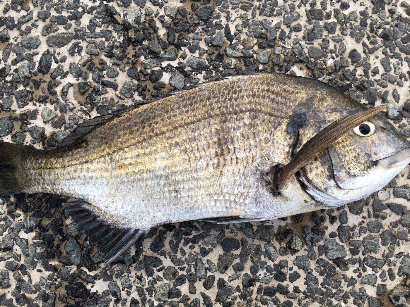 D.Mさんの投稿画像,写っている魚はクロダイ