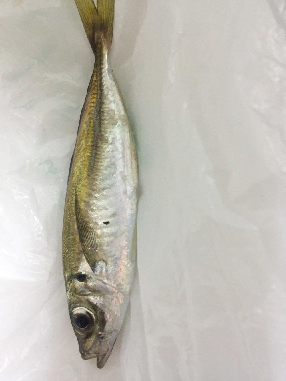 山田さんの投稿画像,写っている魚は
