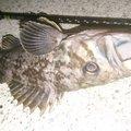カチュアさんの宮城県でのクロソイの釣果写真