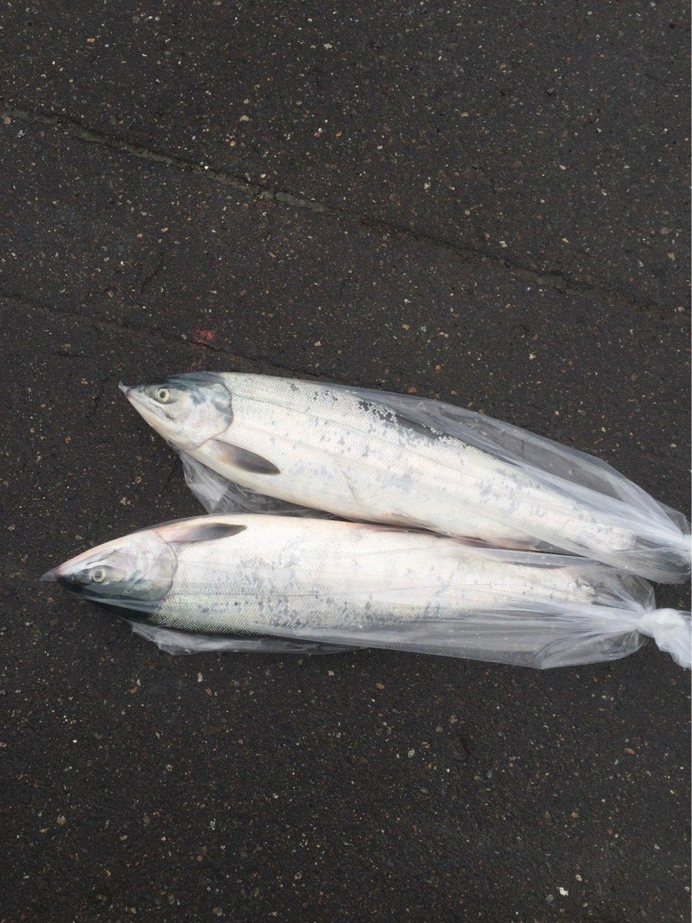 釣りバカさんの投稿画像,写っている魚はサケ