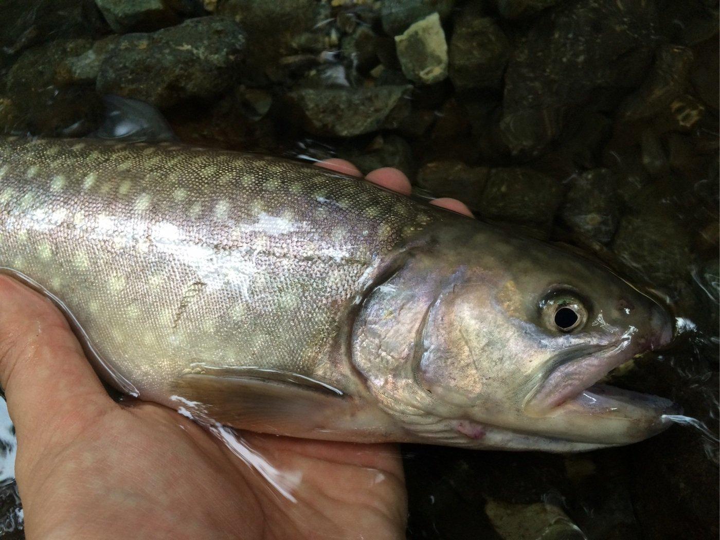 スズキリさんの投稿画像,写っている魚はイワナ