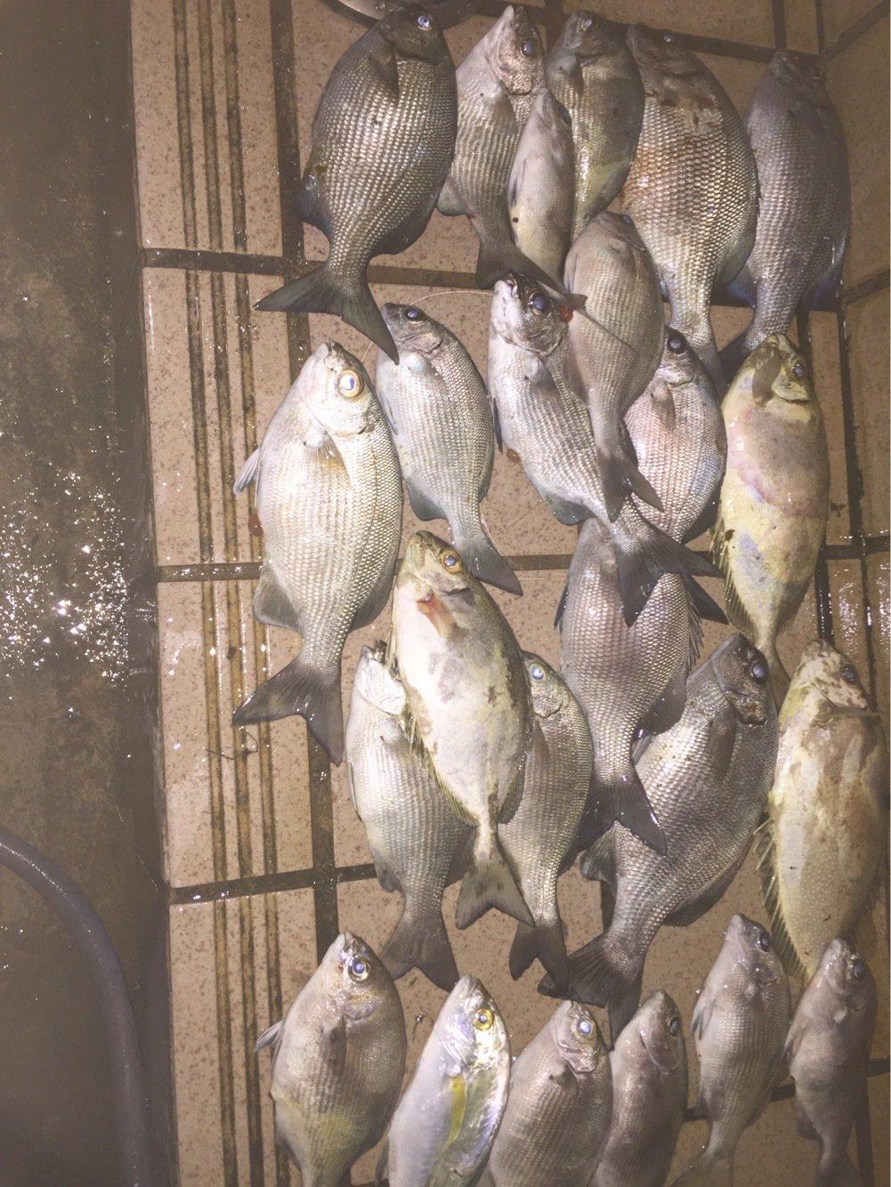 ゆうちゃんさんの投稿画像,写っている魚はイスズミ