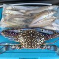 NCMさんの新潟県でのシロギスの釣果写真