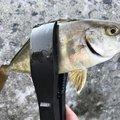 しんさんの岩手県久慈市での釣果写真