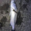 みやさんの千葉県山武郡での釣果写真