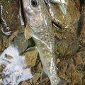 MAさんの奈良県での釣果写真
