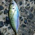 梅宮さんの福岡県でのアジの釣果写真