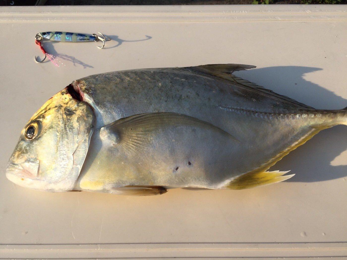 エソさんの投稿画像,写っている魚はロウニンアジ