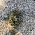 バカボンパパさんの島根県江津市での釣果写真