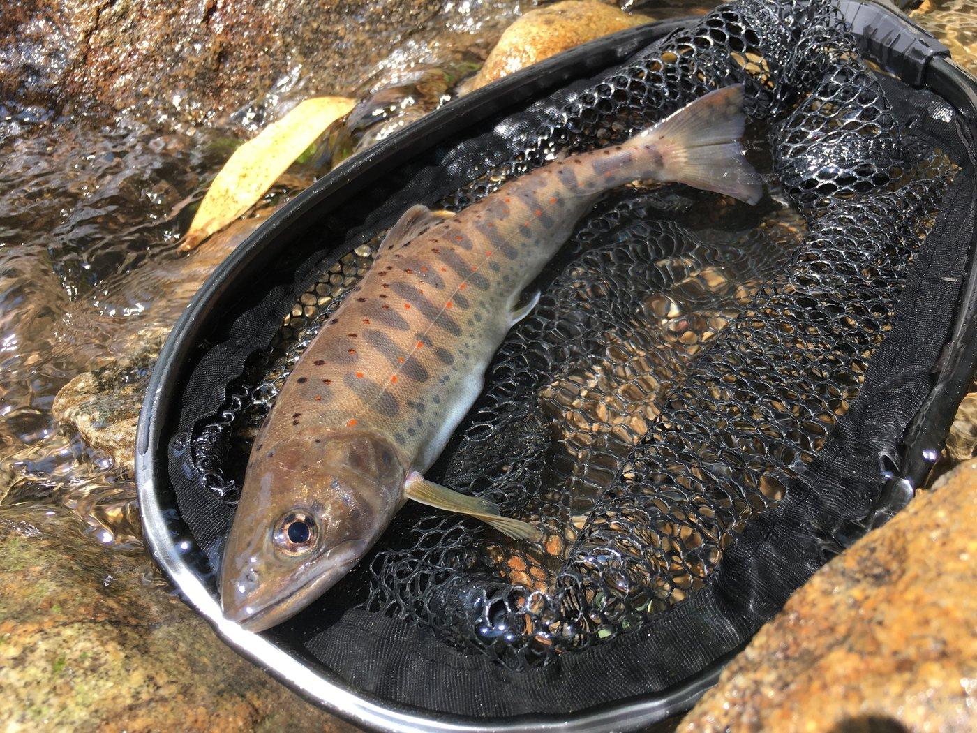 カズさんの投稿画像,写っている魚はヤマメ,
