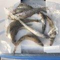海戦型トナカイさんの新潟県でのシロギスの釣果写真